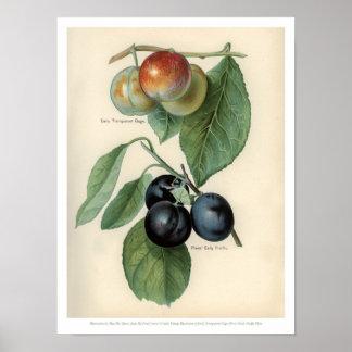Poster Le cru porte des fruits illustration - mesure et