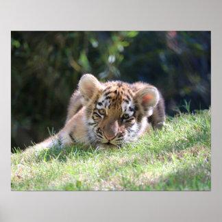 Poster Le jeune tigre CUB femelle est juste un des