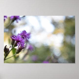 Poster Le pourpre fleurit la photographie de nature d'été