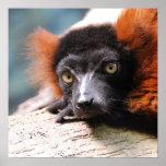 Poster Lémur rouge de repos de Ruffed