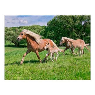 Poster Les chevaux de Haflinger avec les poulains mignons
