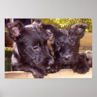 Poster Les chiots heureux noirs de Terrier d'écossais se