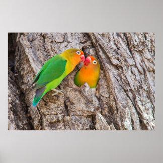 Poster Les perruches de Fischer embrassant, Afrique