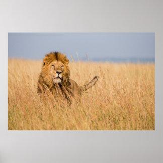 Poster Lion masculin caché dans l'herbe