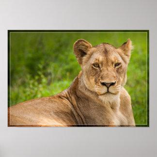 Poster Lionne 2