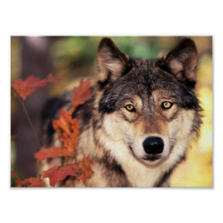 poster loup