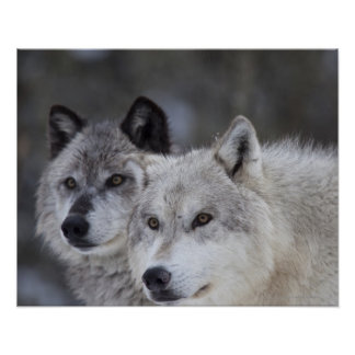 Poster Loups (lupus de Canus) | Yellowstone occidental