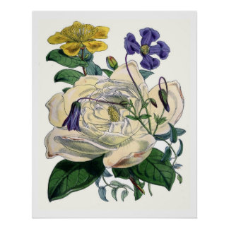 Poster Magnolia botanique vintage