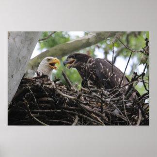 Poster Maman de KMCphoto Eagle chauve et grand bébé