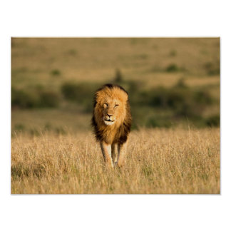 Poster Marche masculine de lion