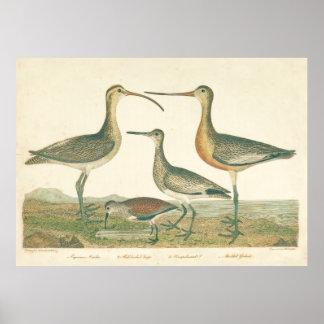 Poster Marécage de Snipe de courlis cendré d'oiseaux de