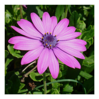 Poster Marguerite africaine rose simple contre le