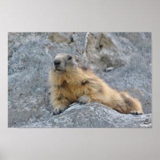 Poster Marmotte alpine sur le roch