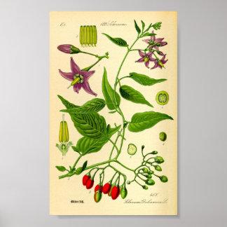 Poster Morelle aigre-douce (dulcamara de solanum)