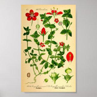 Poster Mouron d'écarlate (caerulea d'Anagallis)