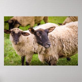 Poster Moutons de la Normandie | France