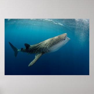 Poster Natation de requin de baleine