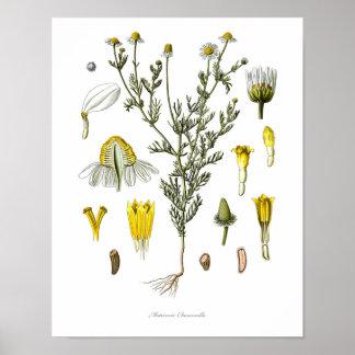 Poster Nature, copie botanique, art de fleur de camomille