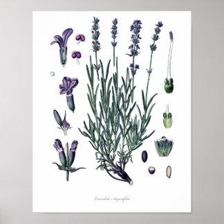 Poster Nature, copie botanique, art de fleur de lavande