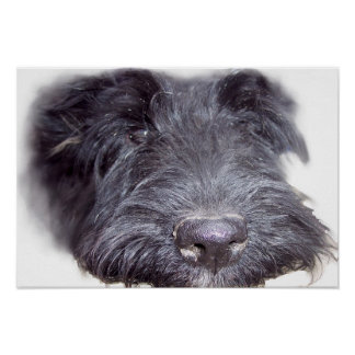 Poster Noir de Terrier d'écossais, fin de tête de chien