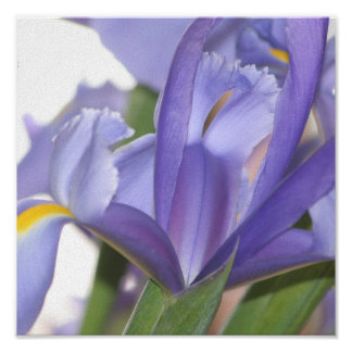 Poster Oh iris puissant ! copie