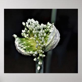 Poster Oignon fleurissant de ressort