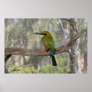 Poster Oiseau d'abeille-mangeur d'arc-en-ciel, Australie