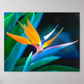 Poster Oiseau du paradis (Hawaï)