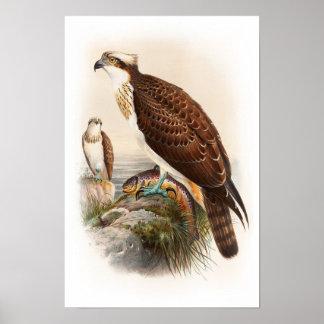 Poster Oiseaux de John Gould de faucon de mer de