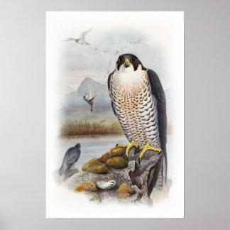 Poster Oiseaux de John Gould de faucon pérégrin de la