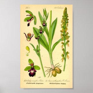 Poster Orchidée de mouche (insectifera d'Ophrys)