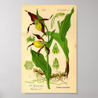 Poster Orchidée de pantoufle de Madame (calceolus de Cypr