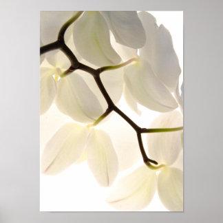 Poster Orchidées blanches sur le blanc