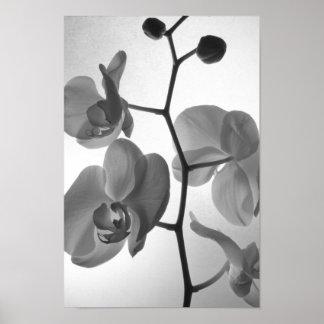 Poster Orchidées noires et blanches sur la tige