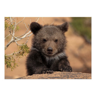 Poster Ours gris CUB