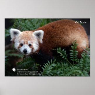 Poster Panda rouge de Smithsonien |