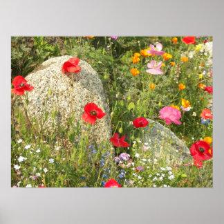 Poster Pavots cultivés floraux