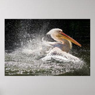 Poster Pélican renversant dans l'eau