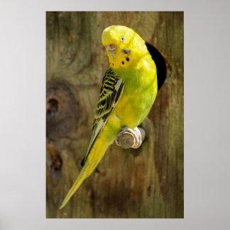 Poster Perruche jaune