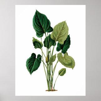 Poster Philodendron botanique d'impression de grand