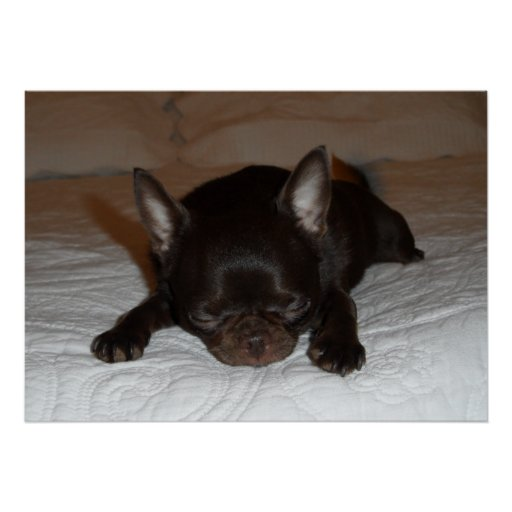 poster photo chihuahua chiot marron endormi