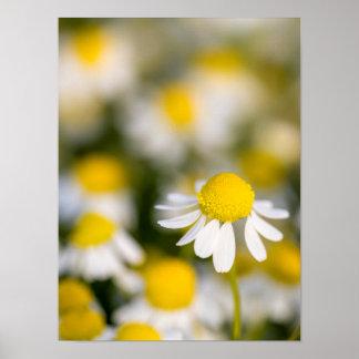 Poster Plan rapproché de fleur de camomille, Hongrie