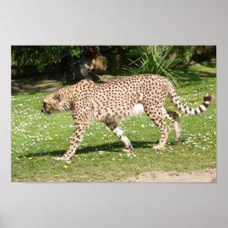 Poster Plan rapproché de guépard africain