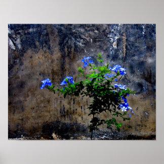 Poster Plumbago bleu