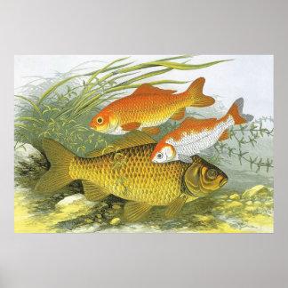 Poster Poissons aquatiques vintages de Koi de poisson