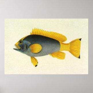 Poster Poissons bleus et jaunes vintages de mérou, espèce