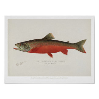 Poster Poissons vintages - truite rouge canadienne