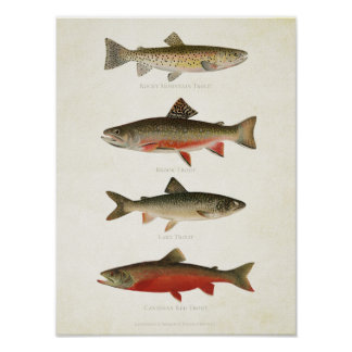 Poster Poissons vintages - truites