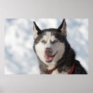 Poster Portrait de chien de traîneau