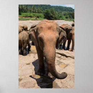 Poster Portrait de groupe d'éléphant, Sri Lanka